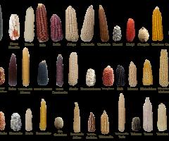 Diversidad-Genetica-de-Maiz-Final