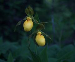 Orchids 1180