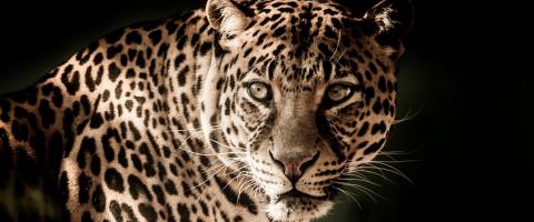 Leopard, journal of wild culture, ©2018